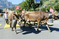 有母牛牧群的农夫在每年季节性牲畜移动的在Engelb 库存图片