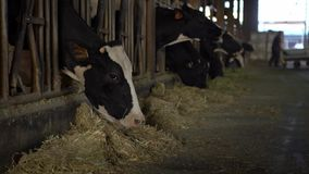 有母牛的乳牛场场主在现代槽枥 农民与家畜大农场一起使用 股票录像