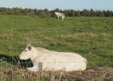 有母牛的农田在荷兰 免版税库存照片