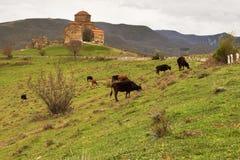有母牛的古老教会 库存照片
