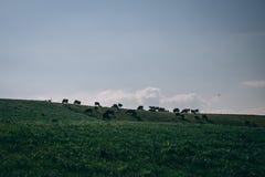 有母牛的爱尔兰乡下在一个牧场地在一个晴天 免版税库存图片