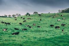 有母牛的爱尔兰乡下在一个牧场地在一多云天 库存图片