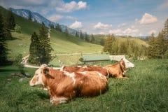 有母牛的草甸在贝希特斯加登国家公园 库存图片