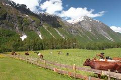 有母牛的闭合的牧场地 免版税库存图片