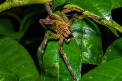 有毒漫步的蜘蛛Phoneutria fera坐在亚马逊雨林的一片heliconia叶子在Cuyabeno国民 免版税库存照片
