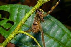 有毒漫步的蜘蛛Phoneutria fera坐在亚马逊雨林的一片heliconia叶子在Cuyabeno国民 库存图片