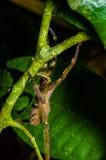 有毒漫步的蜘蛛Phoneutria fera坐在亚马逊雨林的一片heliconia叶子在Cuyabeno国民 免版税库存图片