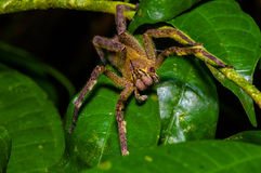 有毒漫步的蜘蛛Phoneutria fera坐在亚马逊雨林的一片heliconia叶子在Cuyabeno国民 免版税图库摄影