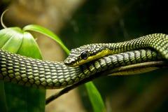有毒的蛇 免版税图库摄影