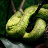 有毒的蛇 免版税库存图片