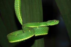 有毒绿色结构树坑蛇蝎,肋前缘 免版税库存照片