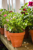 有气味的叶子天竺葵-赤土陶器罐-天竺葵-格拉 免版税库存图片