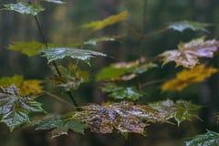 有水下落的槭树叶子在雨以后 库存照片