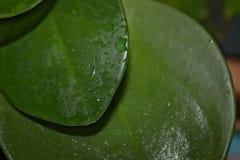 有水下落的绿色叶子,宏指令 免版税库存照片