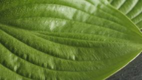 有水下落的转动的绿色叶子,自然概念,植物背景 股票视频
