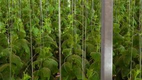 有水栽法系统的,增长的黄瓜温室 股票视频