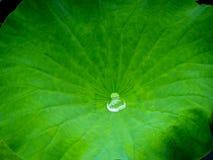 有水滴水的一片莲花叶子 库存照片