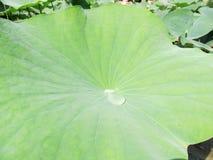 有水滴的一片莲花叶子  库存照片