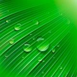 有水滴的绿色叶子  图库摄影