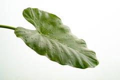 有水滴的美丽的绿色水芋属叶子,隔绝在丝毫 免版税图库摄影