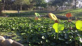 有池塘的日本庭院 股票录像