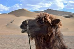 有沙丘的CamelÂ的头在背景中 免版税库存照片
