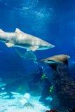 有沙子虎鲨的潜水者 免版税库存图片