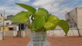 有油腻绿色叶子的一个叶子罐 免版税库存照片