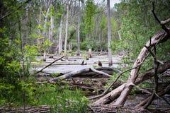 有沼泽的森林 免版税库存照片