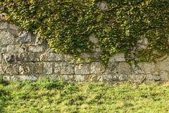 有波士顿常春藤的(爬山虎属tricuspidata)城堡墙壁 图库摄影