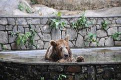 有浴的熊 免版税库存照片