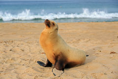 有海狮的小狗埃尔莫萨海滩的基于 免版税库存照片