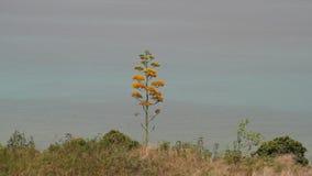 有海的开花的龙舌兰植物在背景中 股票视频