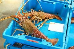有抓住海纤巧龙虾的布拉内斯容器 免版税库存照片