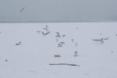 有海鸥吃的冻多瑙河 免版税图库摄影