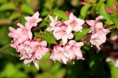 有淡粉红色筒形毛地黄属植物的锦带花佛罗里达桃红色公主强壮的植物塑造了充分地与绿色混合的开放开花的花 免版税库存照片