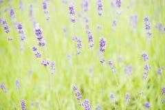 有淡紫色(熏衣草属)生长的庭院 库存照片
