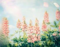 有淡色羽扇豆开花的夏天美丽的花园,室外 免版税库存照片