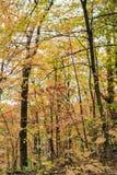 有淡黄色叶子的金黄秋天森林对比了反对 免版税库存图片