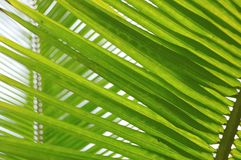 有清楚的天空的新鲜的棕榈树叶子 免版税库存图片