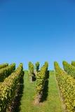 有清楚的蓝天的绿色葡萄园 免版税库存照片