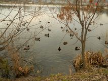 有游泳在岸附近的鸭子的湖 免版税图库摄影