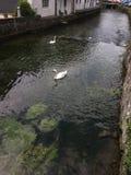 有游泳的天鹅的运河在布伦嫩,瑞士 免版税库存照片