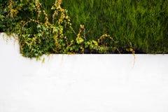 有漫过边缘的常春藤的白色墙壁 图库摄影
