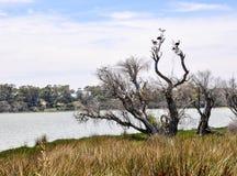 有澳大利亚朱鹭的湖Coogee 免版税图库摄影