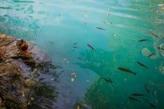 有瀑布小瀑布的Plitvice湖  与鸭子和鱼的鲜绿色清楚的凉水 库存图片