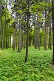 有灌木的一个密集的杉木森林 图库摄影