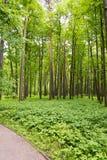 有灌木的一个密集的杉木森林 免版税库存图片