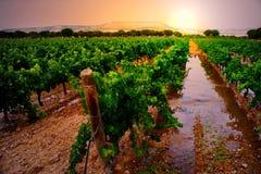 有灌溉的葡萄园 库存图片