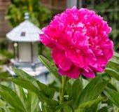 有灯塔的黑暗的桃红色牡丹开花 库存图片